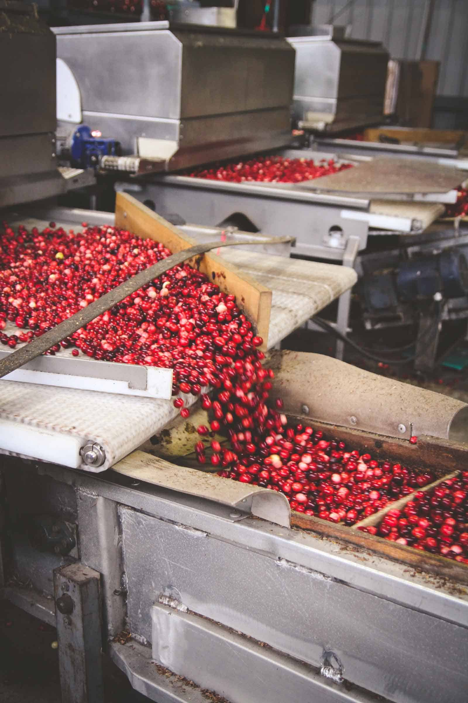 Fresh cranberry harvesting and processing